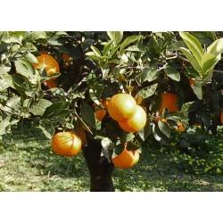 Organic oranges from Ribera – Navelina variety