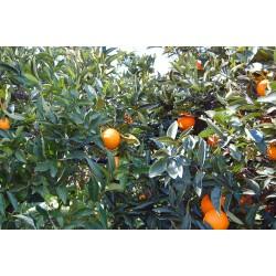 Organic oranges – variety Washington Navel - for a juice