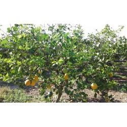 Organic Citron