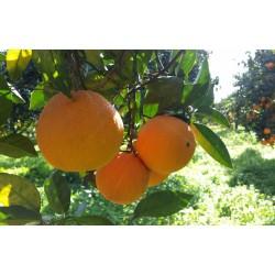 Organic Oranges from Ribera – variety Washington Navel - Calibro Extra