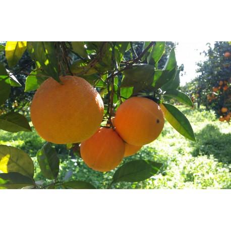 Organic Oranges – variety Washington Navel - Calibro Extra