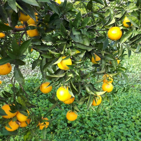 Organic oranges – variety Navelina - for a juice