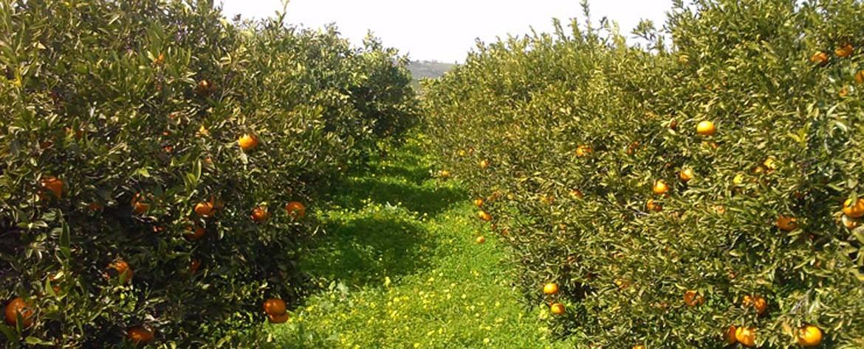 Biologisches Orangen